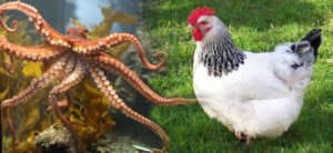 octochicken